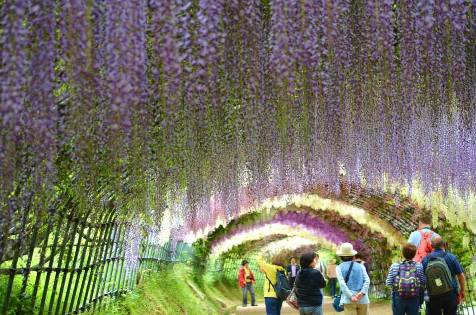 【河内藤園】北九州の誇る世界の絶景