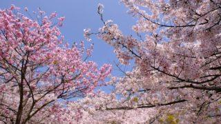 【北九州市の桜】名所、穴場、お花見おすすめスポット