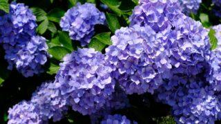 【若松あじさい祭り】福岡県内有数の紫陽花の名所(北九州市若松区)